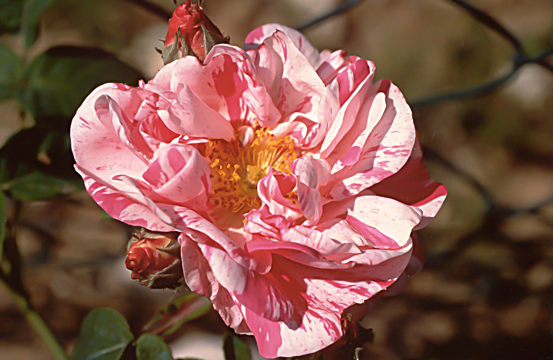 R mundi (R gallica versicolor )