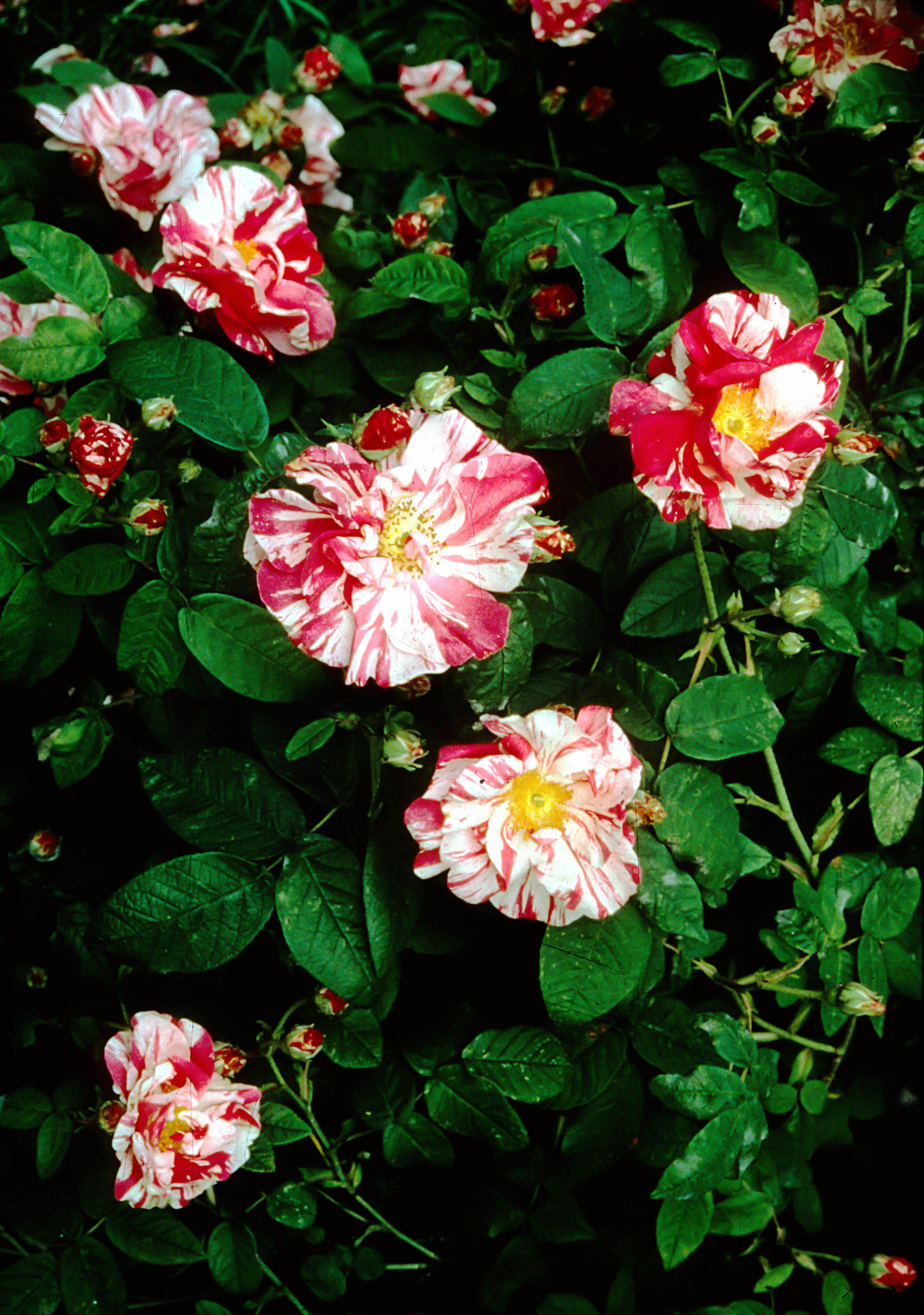 R mundi (R gallica versicolor 2)