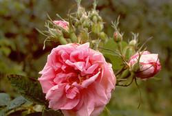 R damascena bifera (Quatre Saisons)