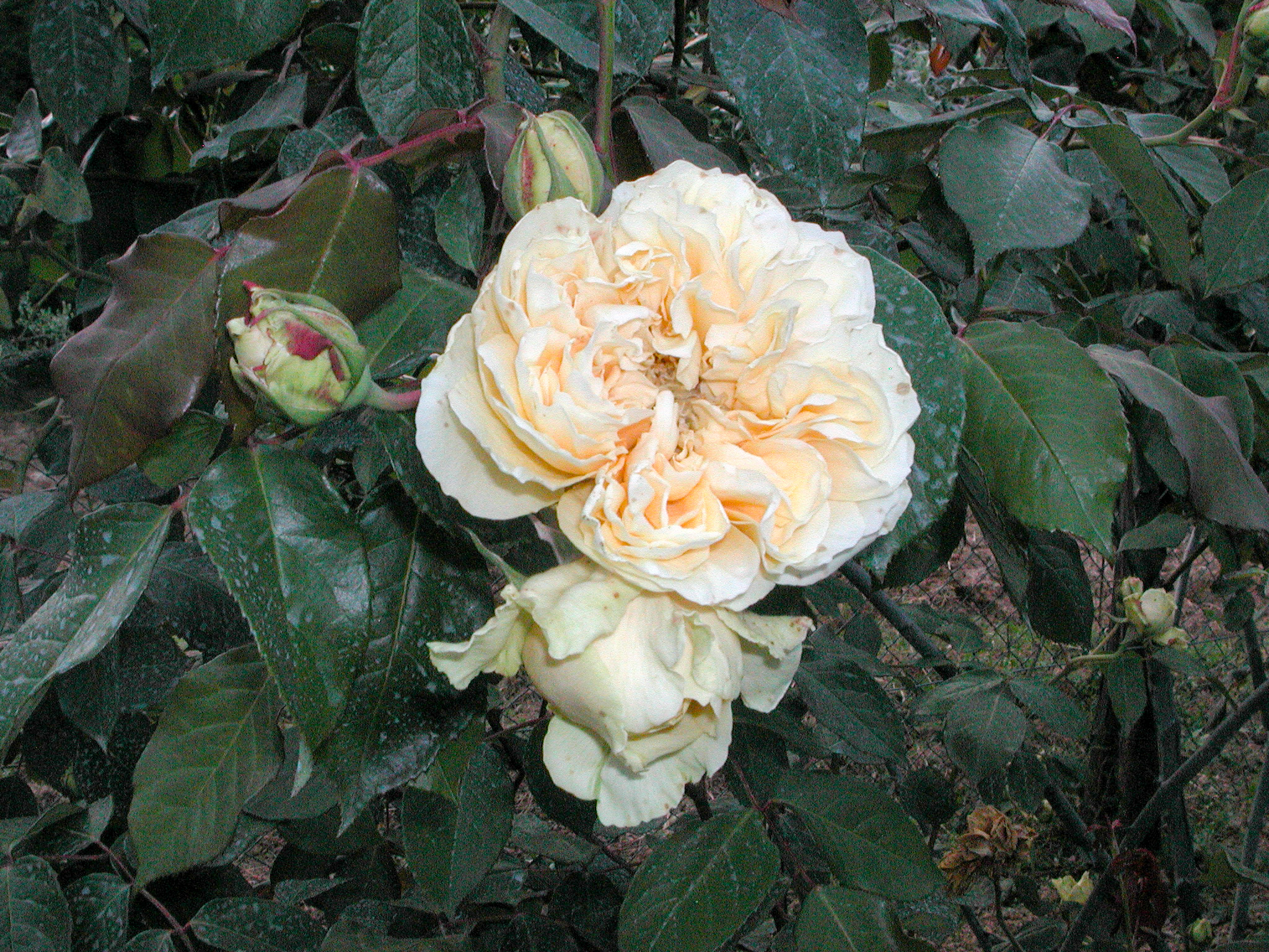 Duchesse d'Auerstadt