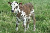 Cocoa brindle heifer calf