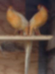 Peach Golden Pheasant Males