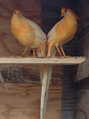 Peach Golden Pheasant Males
