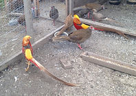 Golden Pheasant males and Silver Pheasant hen