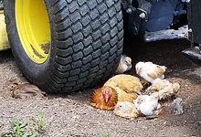 Chicken nap time