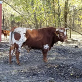 Herd Bull Romeo, Pineywoods Cattle