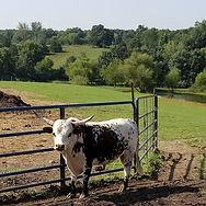 Luigi herd bull