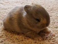 Blue and tan Netherland dwarf baby
