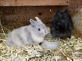 Blu and Tan Harlequin Netherland Dwarf and Mom