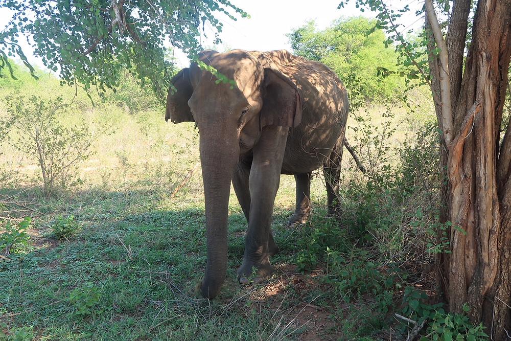 Old female elephant