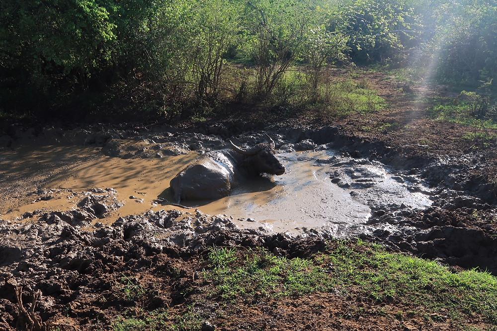 Buffalo taking a mud bath