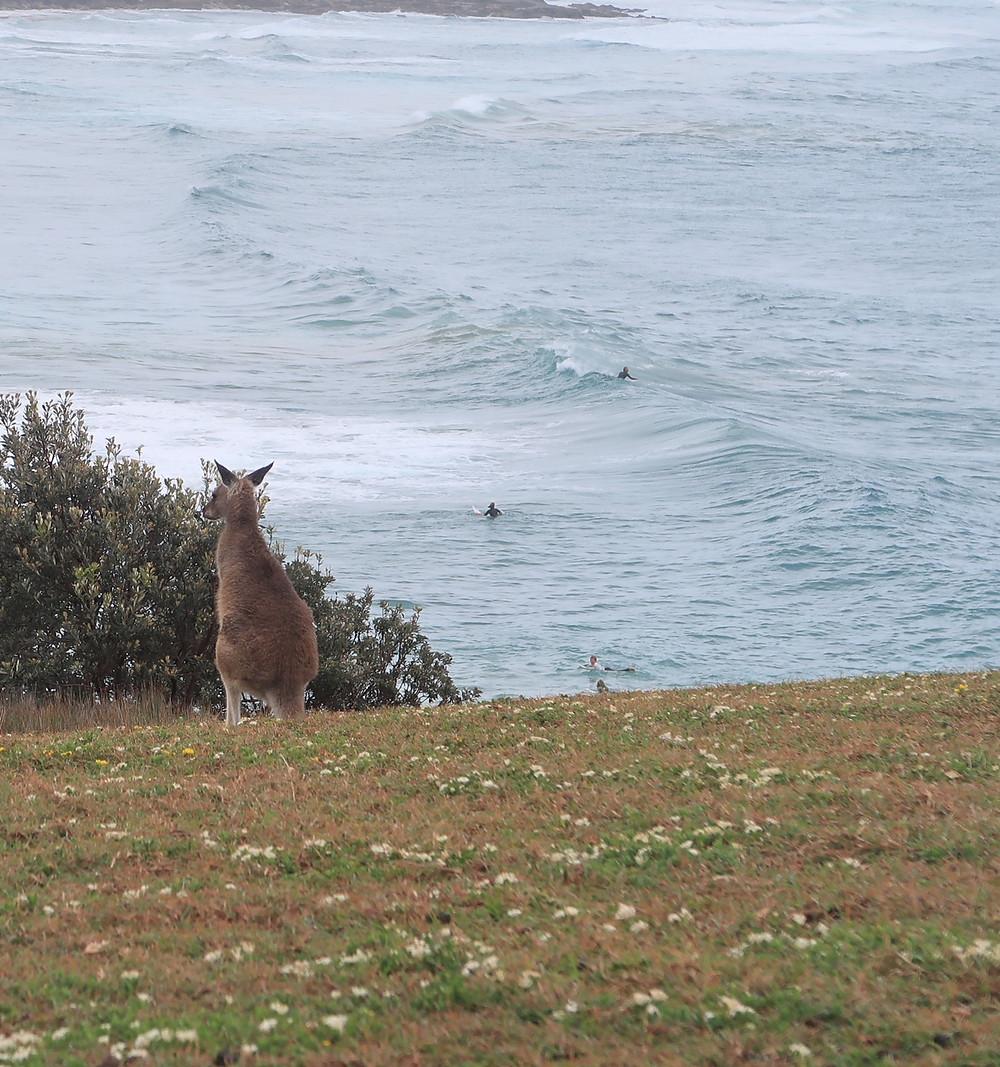 Kangaroo watching the surf
