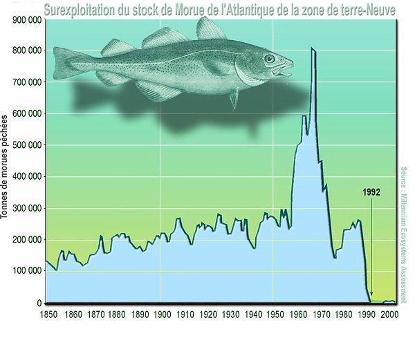 Surexploitation du stock de morue Atlantique nord