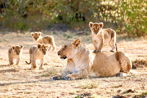Lioness With Her 4 Cubs
