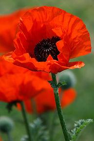 poppy_flower_198889.jpg