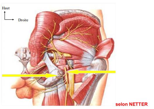 LE SN somatique : Figure 1 : les rapports nerfs somatiques muscles. Structures canalaires