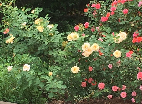 The Expanding Universe of No-Spray Roses