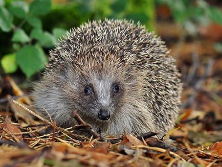 Hedgehog Day: Groundhog Day's German Great-Uncle