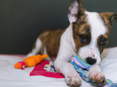 How to Prepare For a Puppy: 14 Must Do's Around the House