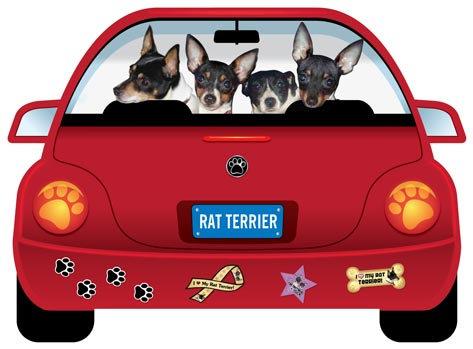 Rat Terrier (CR47)