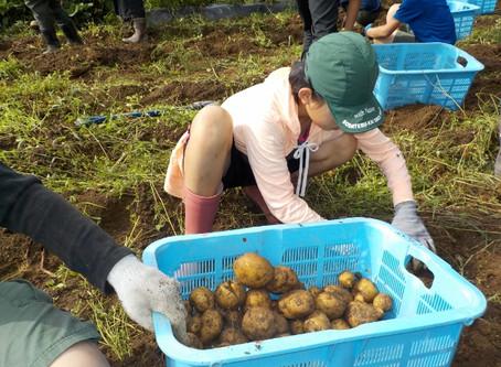 ジャガイモ掘りと秋野菜の間引き