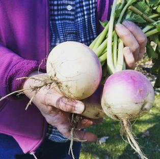 Purple Top Turnips- October