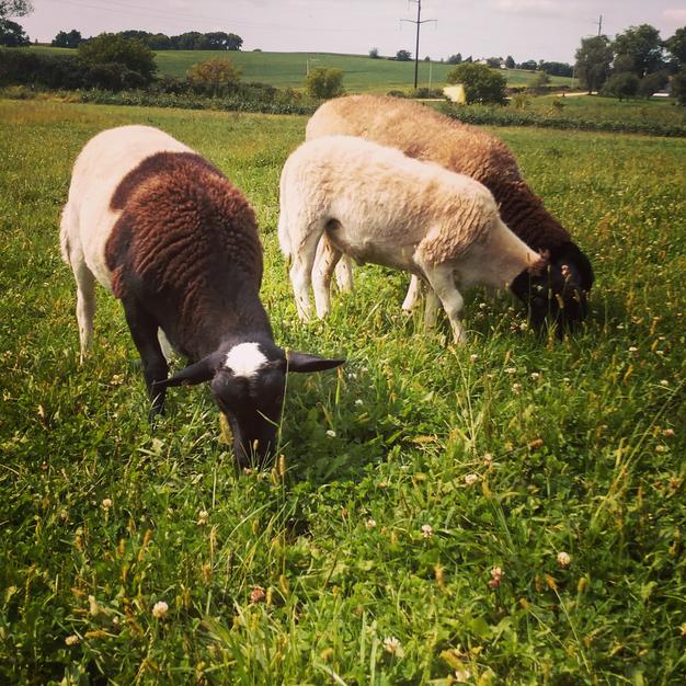 Lambs in Summer Pasture