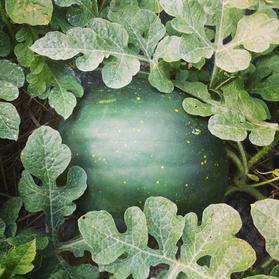 Moon and Stars Watermelon