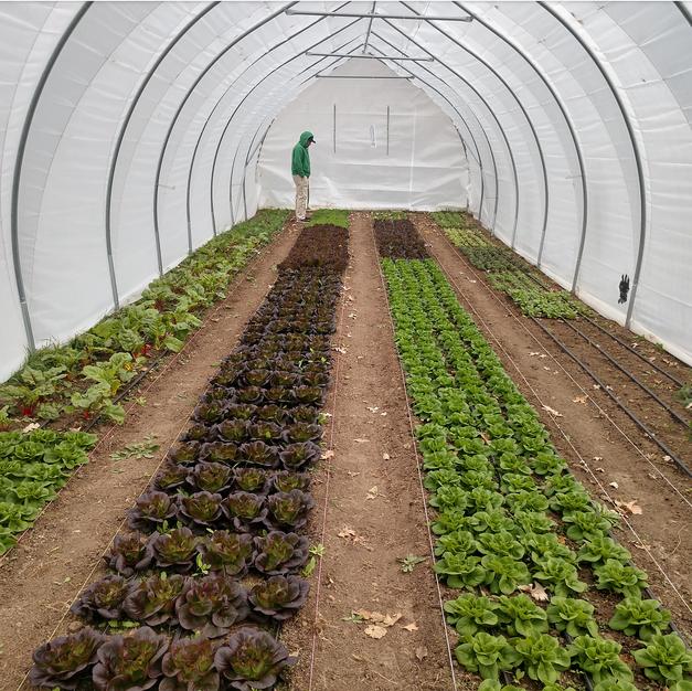Lettuce Tunnel in October
