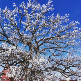 Oak with Rime Frost