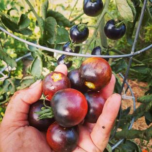 Indigo Cherry Tomatos