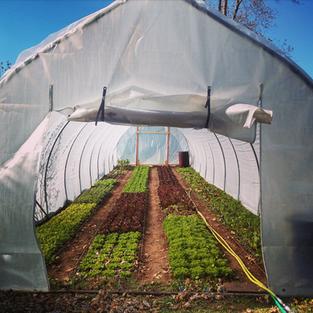 Lettuce Tunnel in November