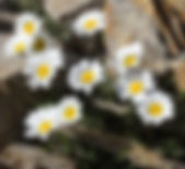 Leucanthemopsis
