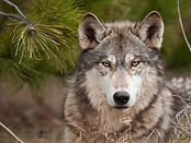 lobo-pinar.jpg