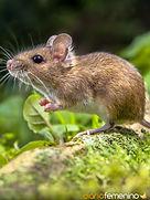 significado-de-sonar-con-un-raton-muy-pe