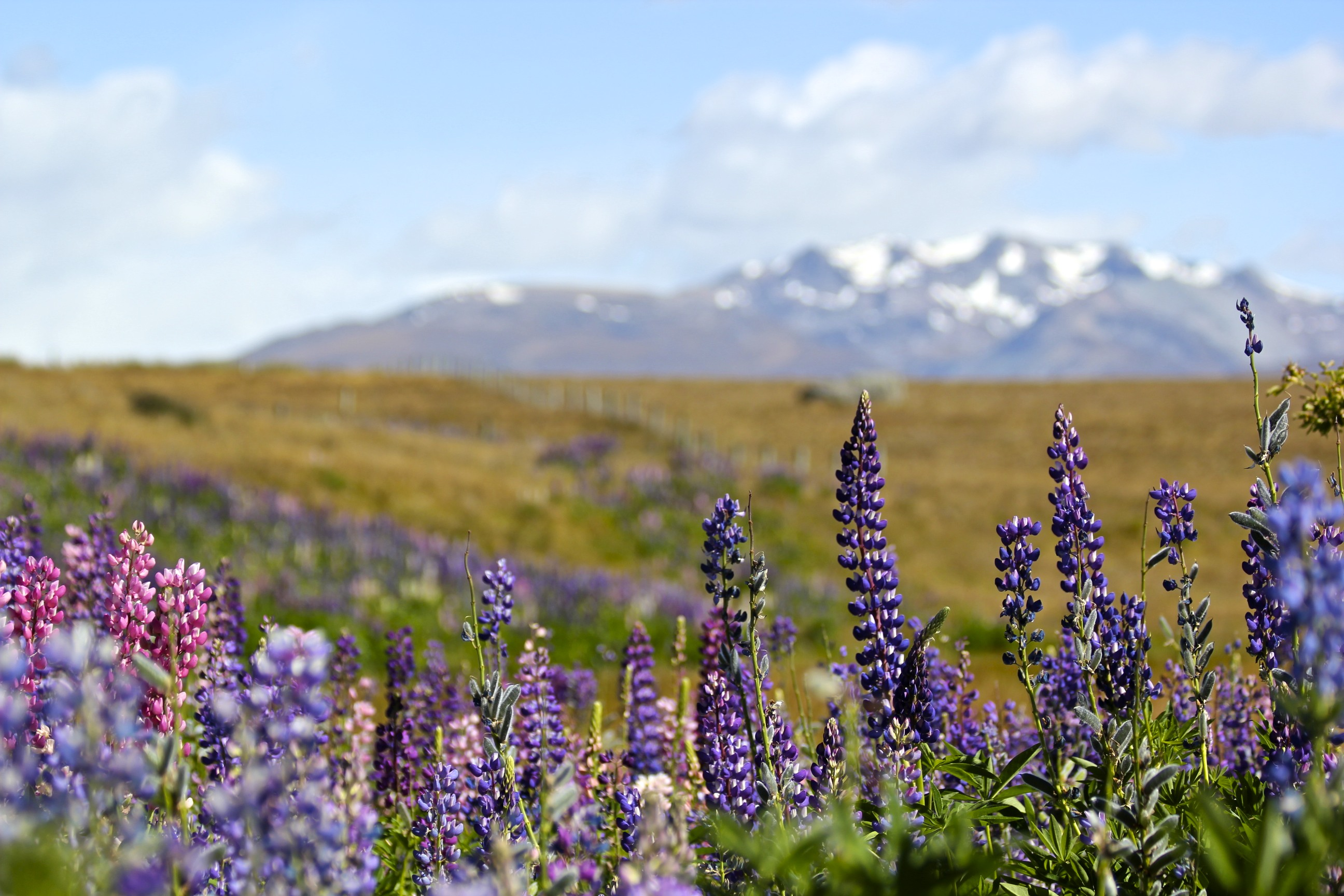 Lupin on the Southern Alps