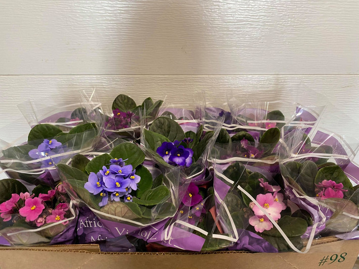 Our beautiful 4'' African Violets!
