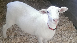 Hey a Goat