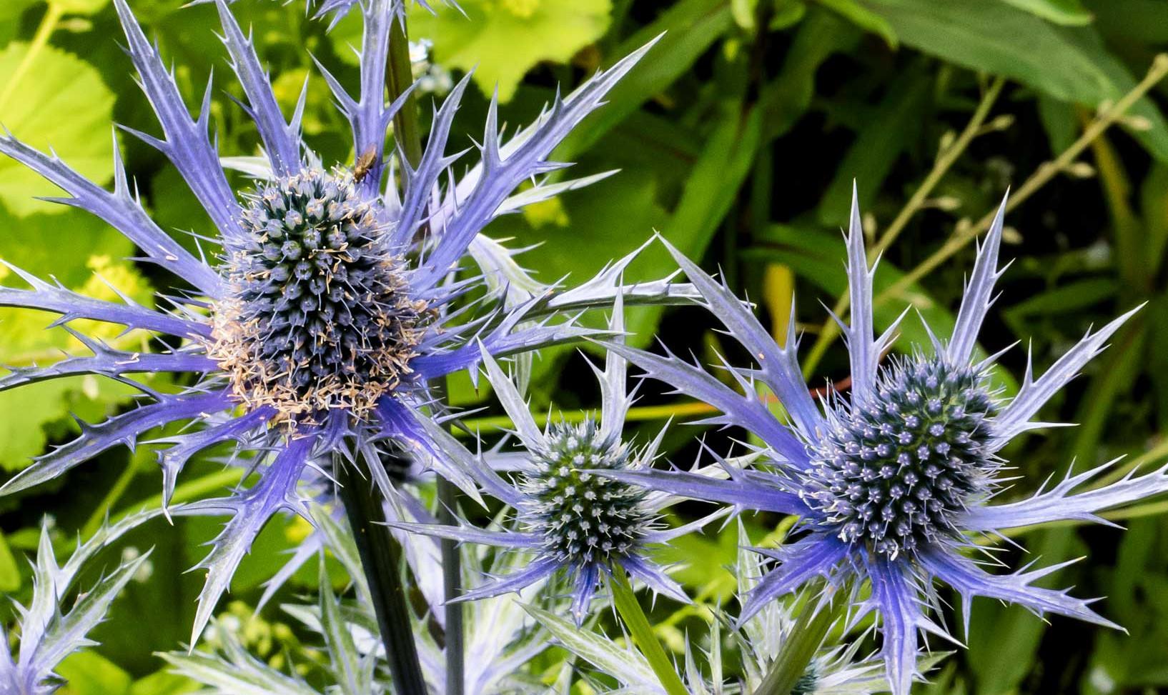 Blue-Thistles.jpg