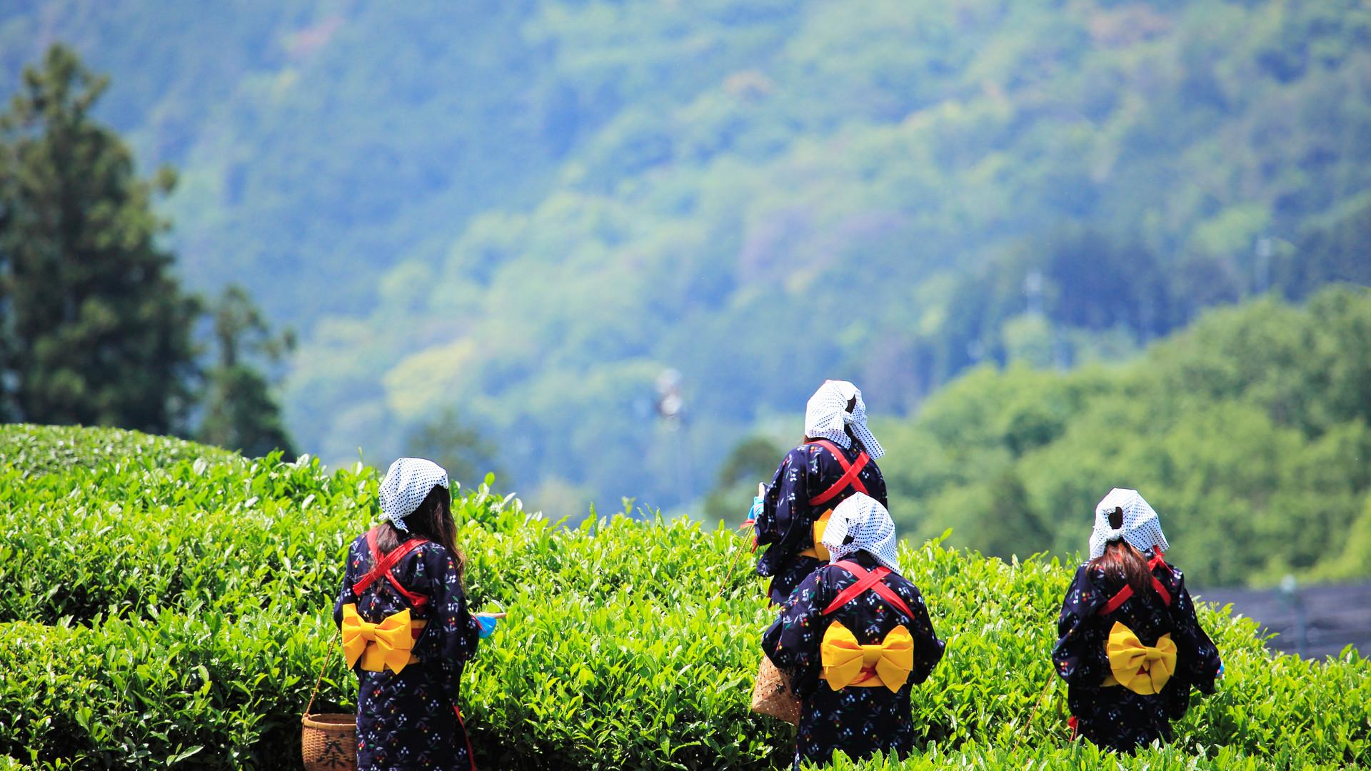 茶摘み.jpg