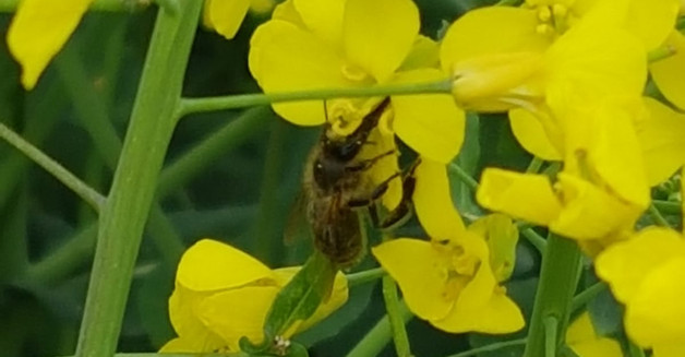 Biene bestäubt die Rapsblüte