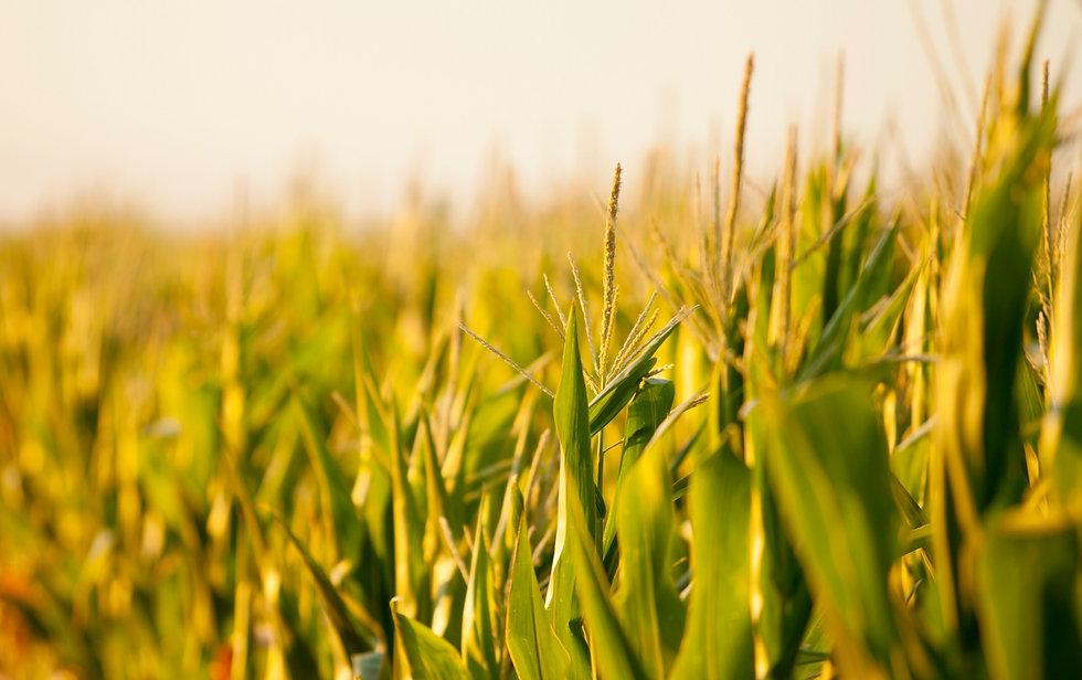 Corn%20Field%20Picture_edited.jpg