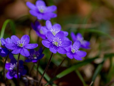 Den blomstertid nu kommer.....
