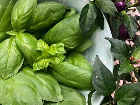 Basil: An Easy Herb to Grow in Austin, Texas