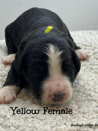 Belle yellow female.jpg