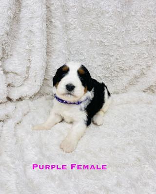 Purple Female.jpg