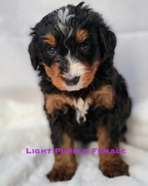Light Purple Female Bailey.jpg