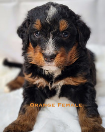 Orange Female Bailey.jpg