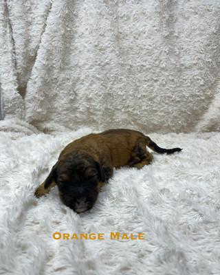 Orange Male.jpg