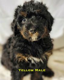 Yellow Male.jpg